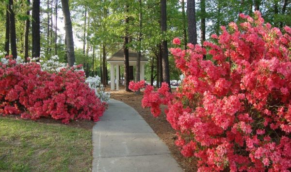 The Columbia Presbyterian Community azalea lined walking path